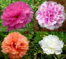 Moss Rose Double Flower Mix Seeds - Open Pollinated -    B79