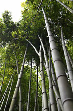 Semi di bambù