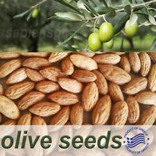 OLIVE TREE  50 - 100 SEEDS GREEK - OLEA EUROPAEA