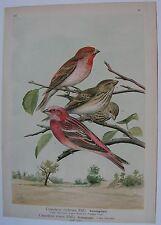 1905 CIUFFOLOTTO Uccelli Naumann Carpodacus erythrinus roseus Ornitologia