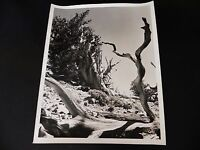 KGgallery 3 Sierra Photo Lot California Ca BRISTLE CONE PINE TREES YOSEMITE 8x10