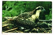 USA - New Jersey, Gateway National Recreation Area, Osprey - Bird Postcard