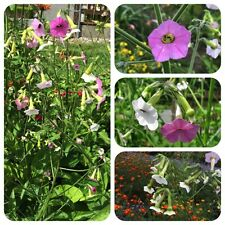 Nicotiana glutinosa Tobacco Ornamental Tobacco with delicately scented flowers in pink & white RAR