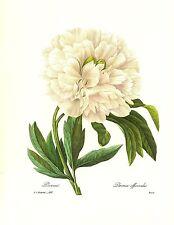 1991 Vintage REDOUTE FLOWER #102 WHITE PEONY PIVOINE Color Art Print Lithograph
