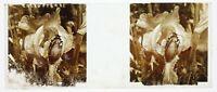 Beetle Foto Stereo PL59L1n57 Placca Da Lente Vintage c1910