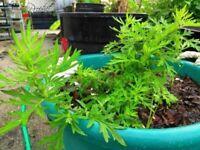 "Mugwort Artemisia  Medicinal Herb 8 inch Live Plants & Seeds "" Black Spore"""