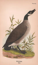 Wild Goose Male Canadian Bird BH Warren 1890 Antique Color Print Matted