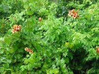 Trumpet Vine (Campsis radicans) ✤ 3 (Dormant) Bare Root Plants (2 Yrs Old)