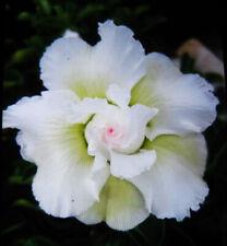 "Adenium Obesum Desert Rose ""mixed 3 kinds white"" 3 Plants 3 Types!"