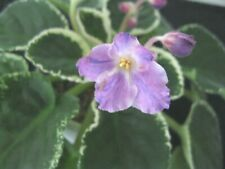 African Violet Plant K'S Lilac Infusion Standard Variegated