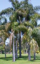 Syagrus romanzoffiana-Regina di Palma - 10 x freschi semi-Palma Tropicale