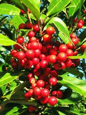 RARE DAHOON HOLLY ilex cassine Florida native tree bonsai shrub seed 100 seeds