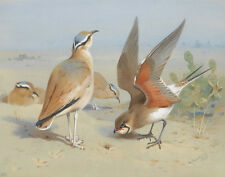 Thorburn Archibald Cream Coloured Courser And Pratincole Canvas 16 x 20  #5701