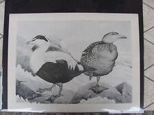 Original  Rex Brasher #159  Hand Painted Bird Print  Northern Eider#159REX2 DSS