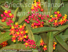 Asclepias curassavica * Schmetterlingspflanze* 50 Samen