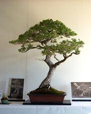 Monterey Pine Sapling Starter Bonsai