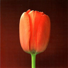 "1988 'TULIP' flower photo ART by ROBERT MAPPLETHORPE-14""X11"" mounted"