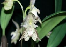 BIN- Bulbophyllum ambrosia -Fragrant-Collector item- Must have Orchid Plant!
