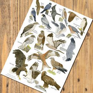 British Birds of Prey A5 Identification Card Guide Chart Postcard