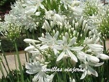 Agapanthus white, agapanto blanco, 50 semillas, seeds , graines , samen