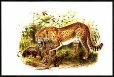 CHEETHA (Acinonyx jubatus), Monograph of the Felidae, by Daniel Giraud Elliot