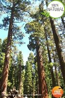 20 Giant Sequoia Seeds Plants Sequoia Bonsai Fast Growing Variety Rare