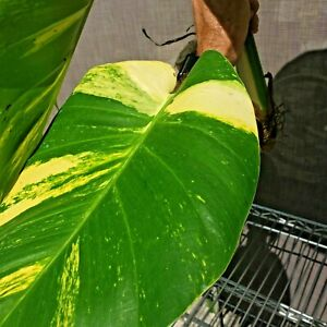 Super Jumbo Variegated Golden Giant Pothos Vine - Yellow with lovely features