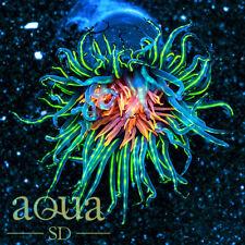 Asd - 097 Electric Sauce Tube Anemone - Wysiwyg - Aqua Sd Live Coral Frag