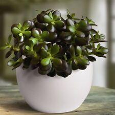 20PCs Bonsai Crassula Ovata Seeds Bonsai Tree Seeds. Rare Japanese Sky Crassula