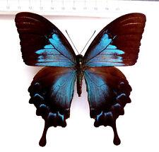 Papilio ulysses ssp.ulysses Weibchen ex Ambon,Moluccas,Indoensien  n58