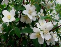 Sweet Mock Orange - Hardy - Healthy - Established - 1 Gallon Pot - 1 Plant
