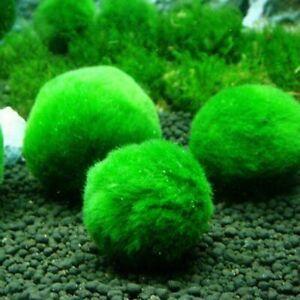 2pcs Green Giant Marimo Balls Cladophora Live Aquarium Plant Fish Aquarium Decor