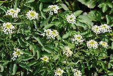 250 Samen Echte Brunnenkresse Kresse Nasturium Wasserkresse mehrjährig