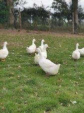 12 Pekin (cherry valley) fertile Duck hatching eggs free range .incubator