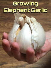 Elephant Garlic Seeds/Corms 10 for Giant  Bulbs/From Giant Bulbs