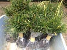 Wedding Favors (45) Evergreen Pine Starter Seedlings Bundle DIY Free Shipping