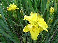 Iris Pseudacorus - 'Flore Plene' Double Yellow - Colourful Water / Pond Plant x2