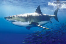 Great White Shark Poster Print, 36x24
