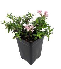 "Miniature Trumpet Flower - Putatoria calibrica - 2.5"" Pot - Fairy Garden Plant"