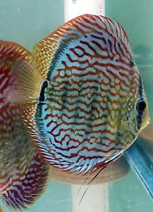 8 pack Juvenile Royal Flora Discus Live Tropical Aquarium Fish