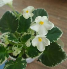 African Violet Plant - K's Merrylegs ~ variegated semi~ in bloom