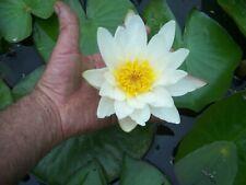Helens,White,Heirloom,Wat er,Lily Plant,Pond,Garden,Biofilt er,100%,Organic,Grown