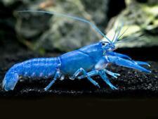 1 male + 1 female Electric Blue Crayfish/Crawfish/Crawdad Free Shipping