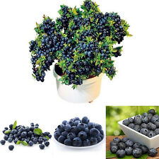 50Pcs Blueberry Tree Seed Fruit Blueberry Potted Bonsai Seeds Organic Plant