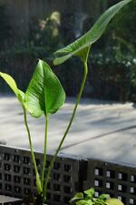New listing Anthurium sp. Purple Extremely Rare Aroid