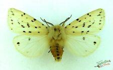 blanc HERMINE PAPILLON DE NUIT Spilosoma lubricipeda Ensemble X1 M English