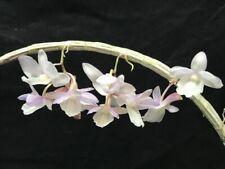 Den. Lost Label Dendrobium Species Orchid Plant