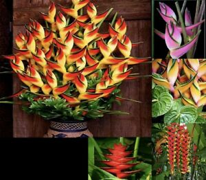 Heliconia Seeds Rare Flower Seeds Home Garden Bonsai Potted Plant Seeds