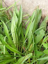 Spitzwegerich 250 Samen - Spießkraut  Salat und Heilpflanze