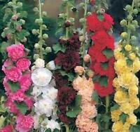 "Hollyhock Mix Double Majorette Mix 25 Seeds Large Stunning 3-4"" Double Blooms"